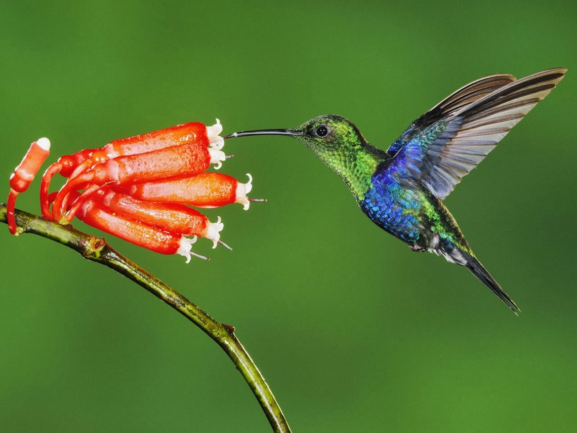 google-hummingbird_1.jpg